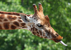 Giraffe-tongue